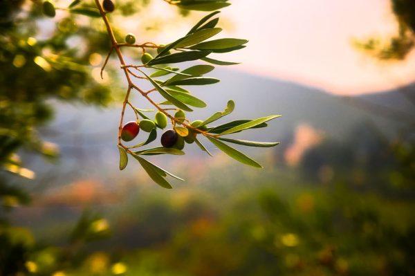 Los olivos son especies endémicas de la biosfera alboránica